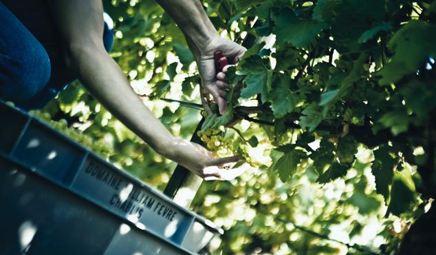 Au coeur de la vigne